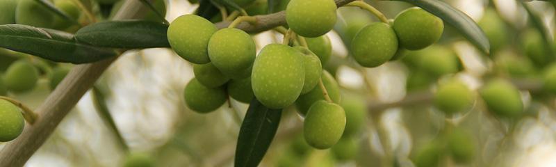 Aceitunas en un olivo